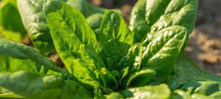 Шпинат — выращивание дома и на огороде